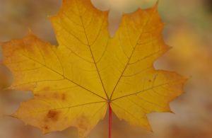 Single Fall Leaf Photo